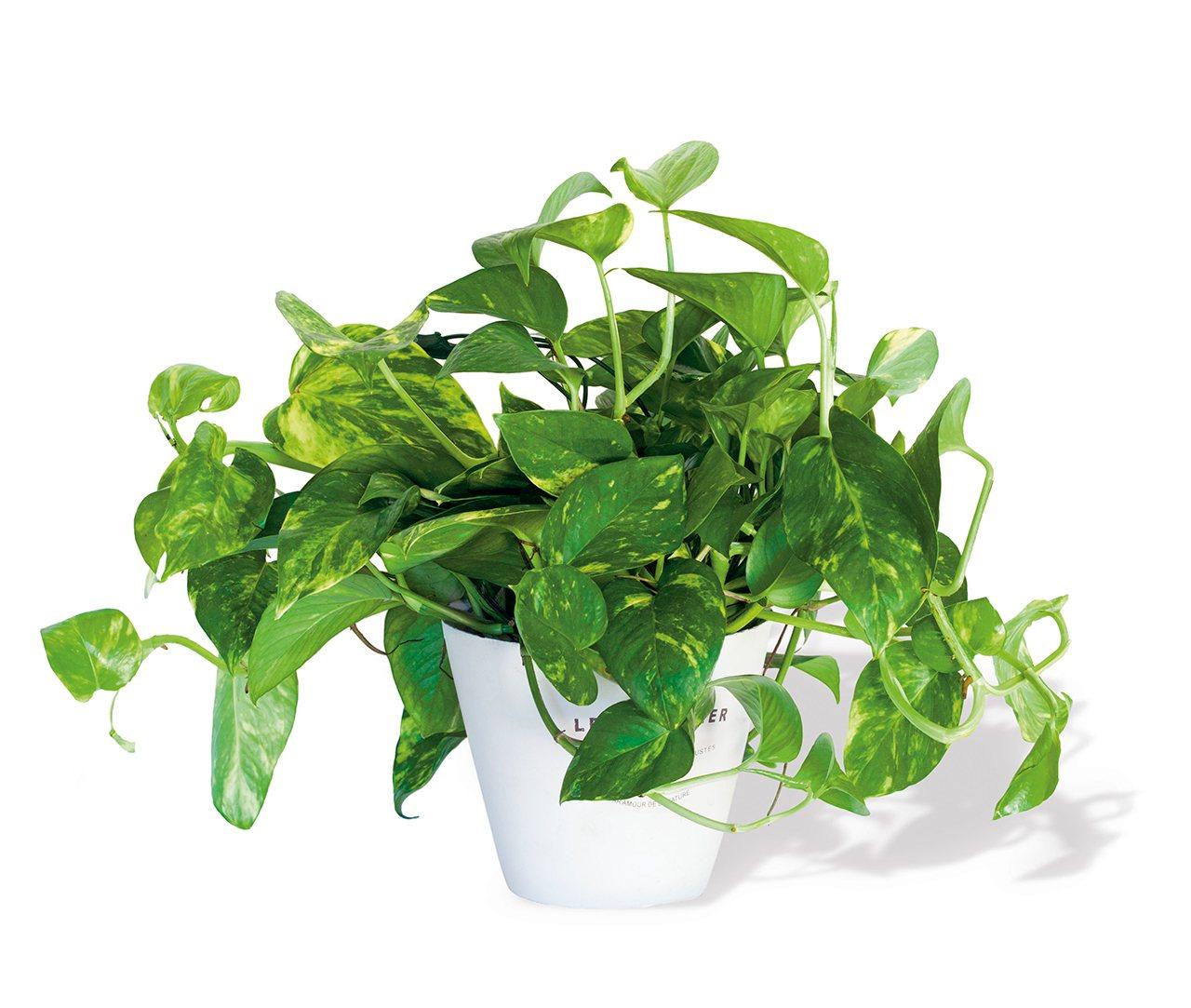 Plantas Que Purifican El Aire ~ Plantas Que Limpian El Ambiente