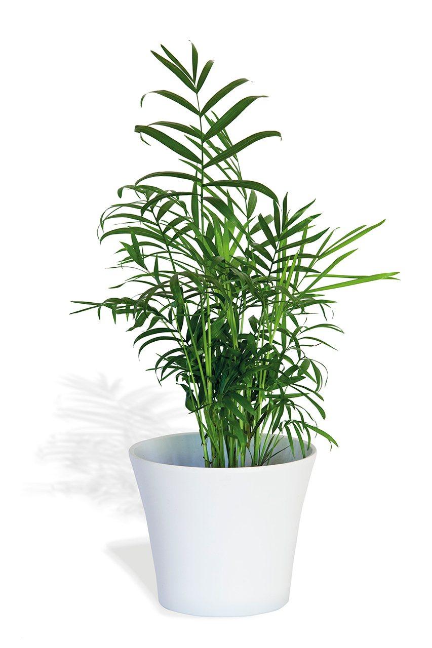 Plantas que purifican el aire - Planta interior palmera ...