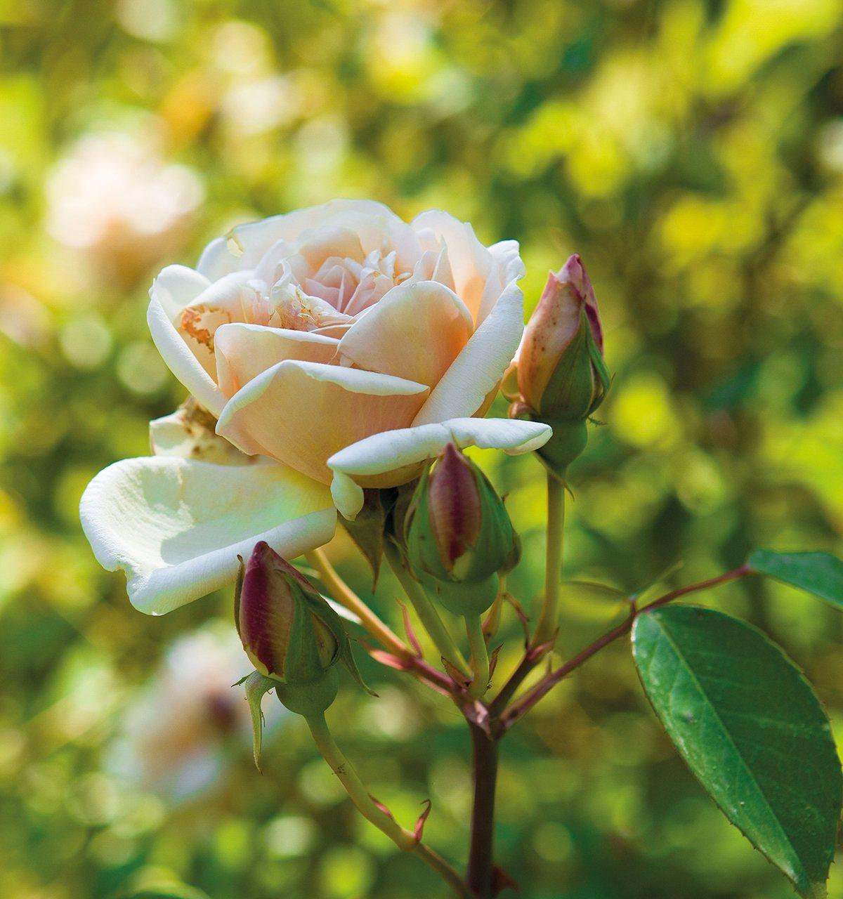 Rosa Sueño de oro