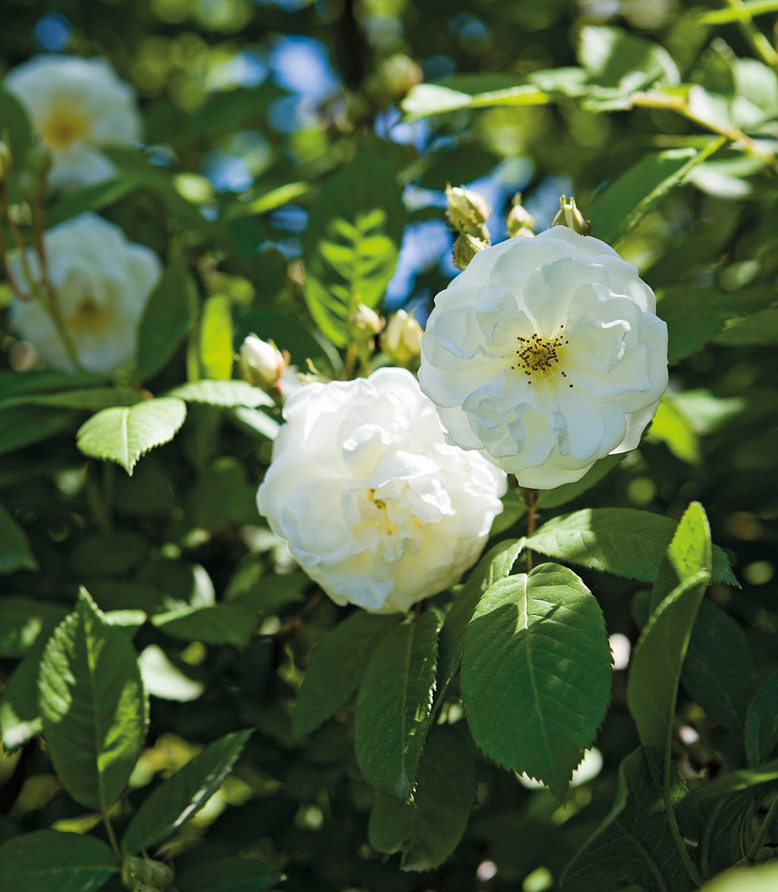 Rosa Nieve de abril