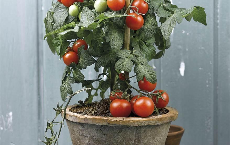 Tomateras las estrellas del huerto - Tomates cherry en maceta ...