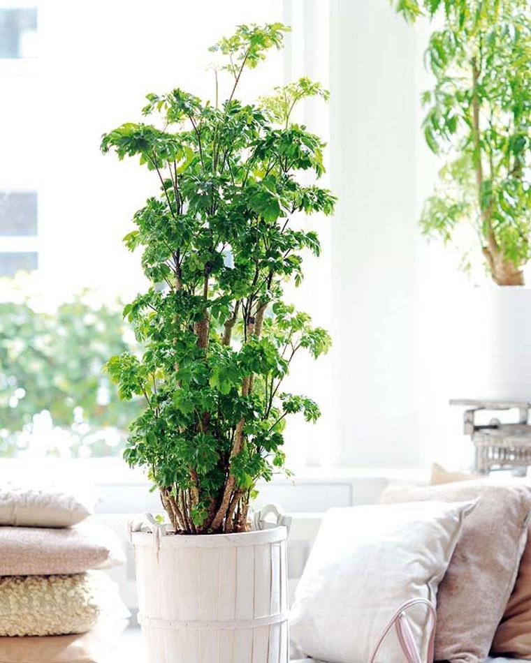 planta-aralia-en-macetero-madera-blanca-junto-a-cojines. Aralia (polyscias fruticosa)