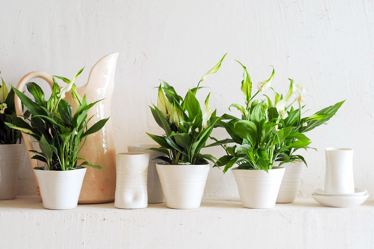 plantas-Espatifilo-en-macetas-de-cerámica. Espatifilo