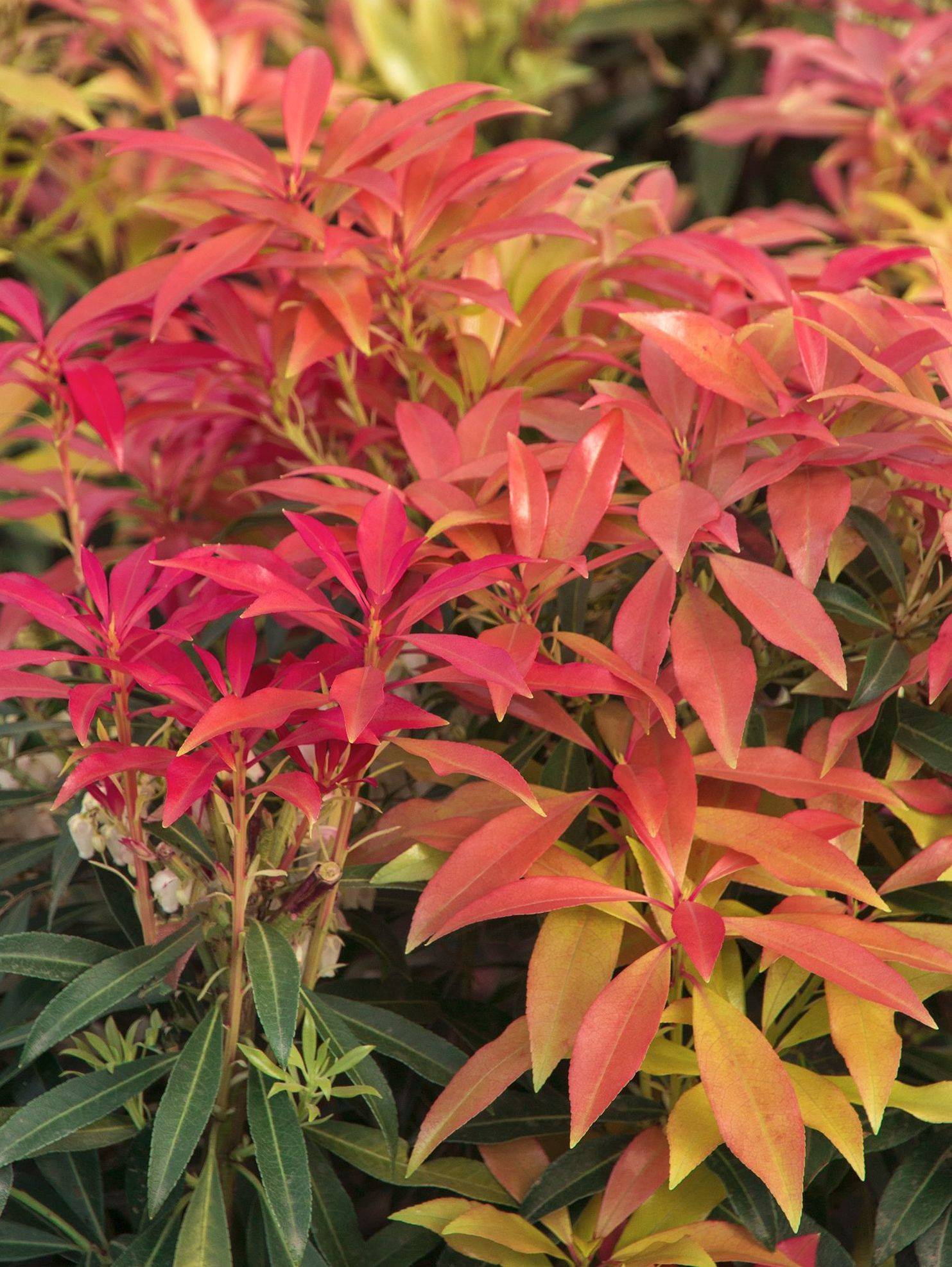 arbusto color otoño Pieris japonica forest flame