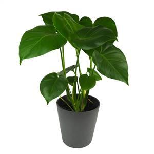 Monstera el mueble - Plantas resistentes de interior ...