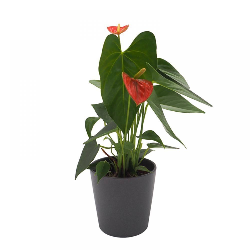 antúrio. Antúrio: desejado por suas flores vermelhas marcantes
