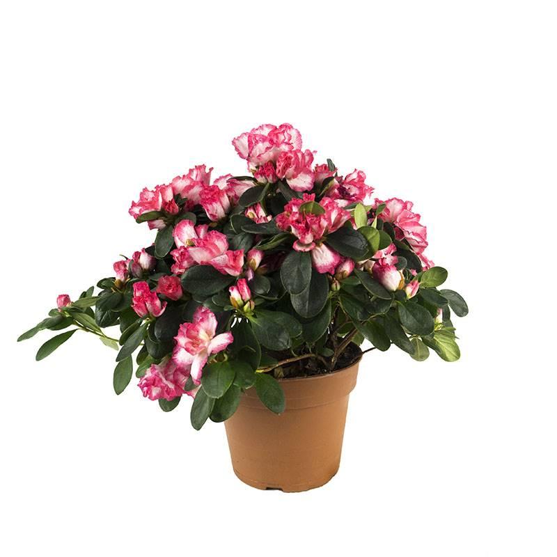 azaléia. Azalea: um arbusto bonito (e tóxico) com flores