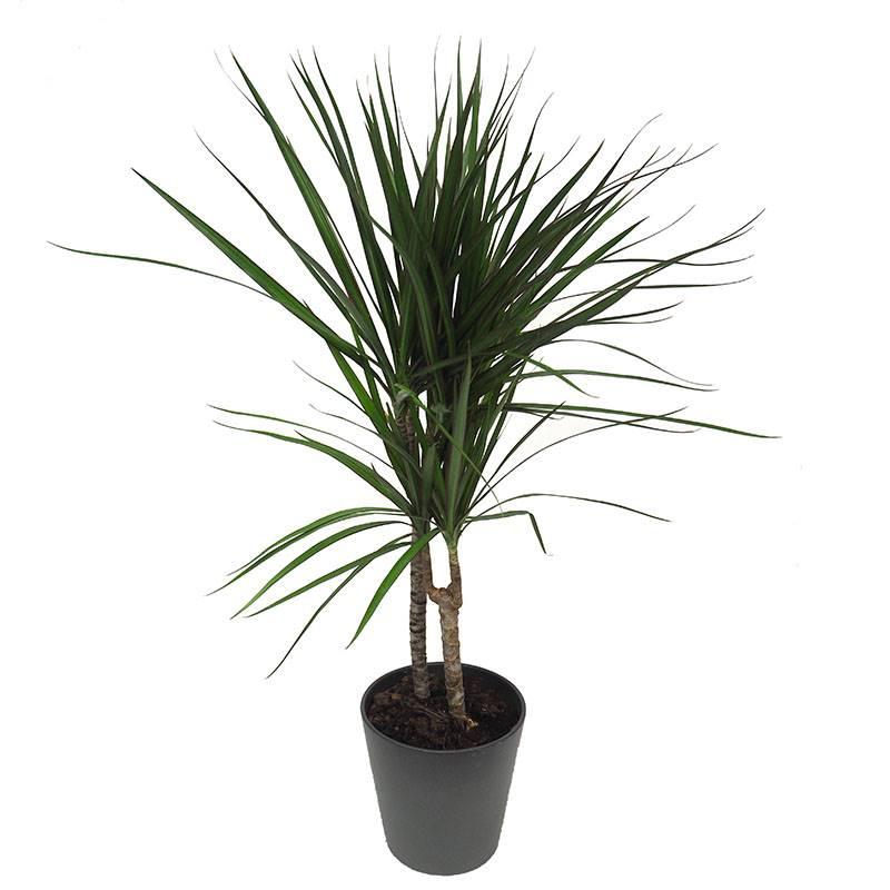 dracena. Drácena: uma planta escultural com superpoderes