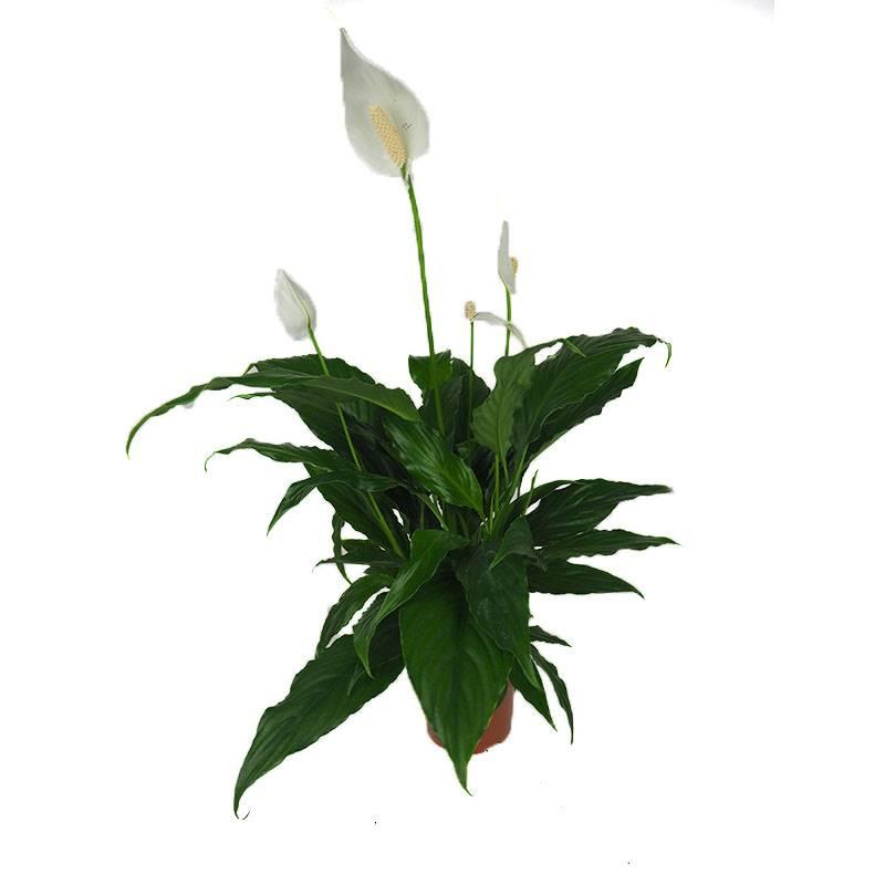 Spatifilo. Spatifilo: com atraentes flores brancas