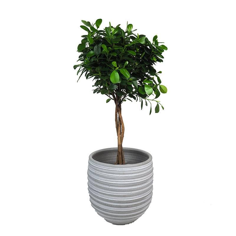 ficus. Ficus: uma árvore de fácil manutenção