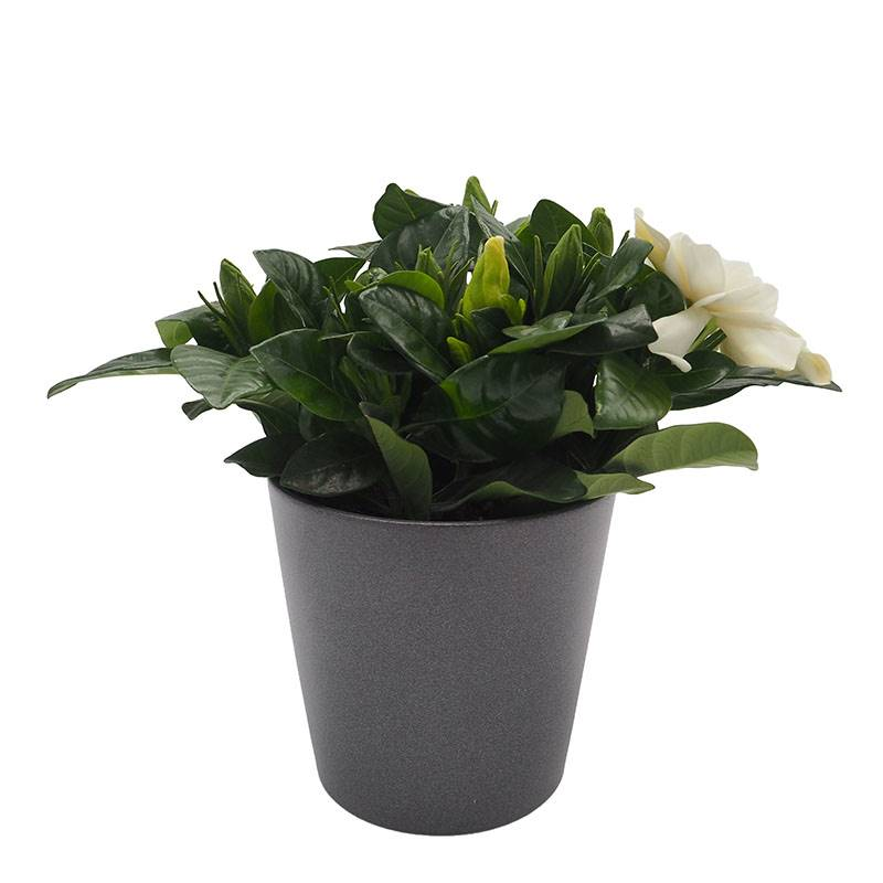 gardênia. Gardênia: flores brancas aromáticas