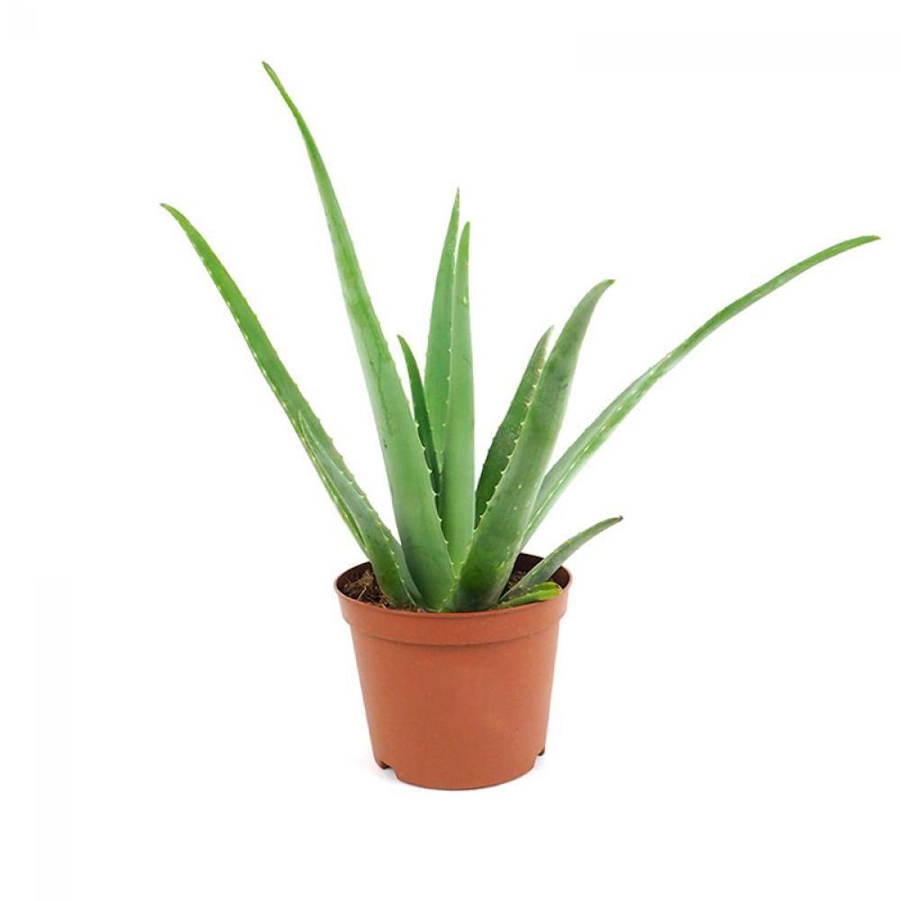 Planta de aloe vera. Aloe Vera: propriedades curativas