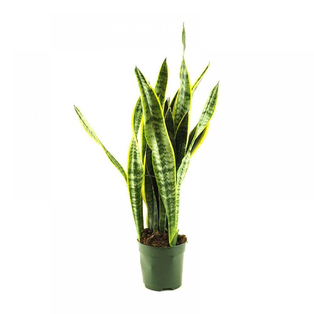 Sansevieria. Sansevieria: um sobrevivente de folhas bicolores marcantes