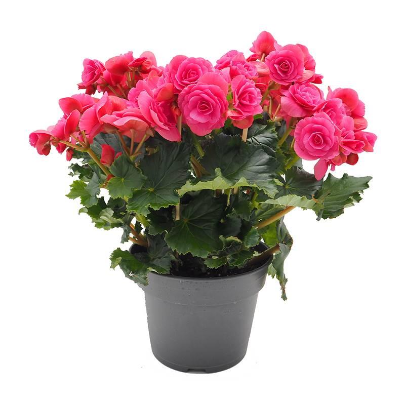 begônia. Begônia: uma das plantas com flores com mais espécies