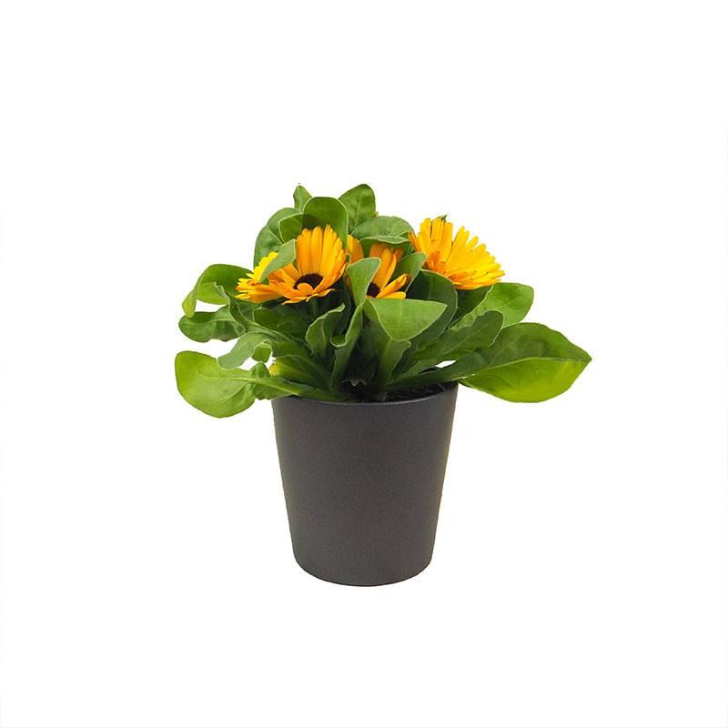 calêndula. Calêndula: planta medicinal com bela floração
