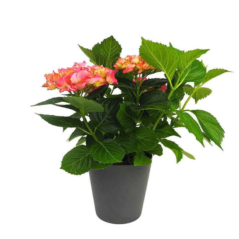 hortênsia 1b. Hortênsia: floração espetacular em touceiras