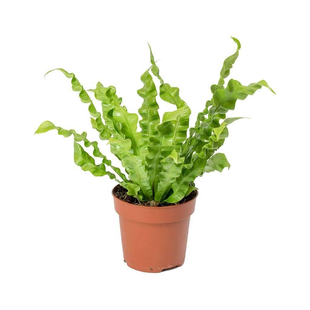 Asplenium-nidus-Crispy-Wave-Plissado-Aves-Nest-Fern-30cm. Asplenium nidus ou Asplenio: com folhas verdes vistosas