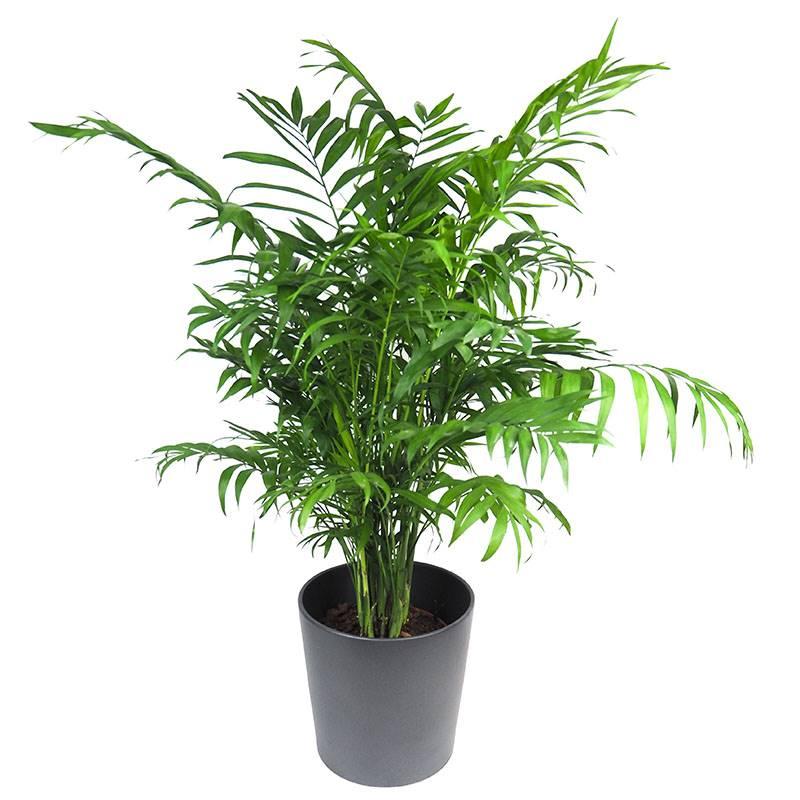 chamaedorea. Camadorea: uma palmeira muito fácil de cultivar