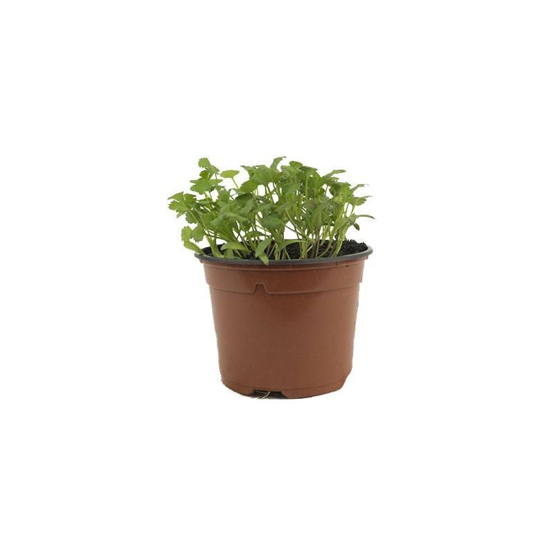 coriandrum sativum coentro. Coentro: uma planta aromática e medicinal