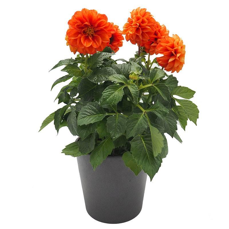 dália. Dahlia: flores impressionantes e glamorosas