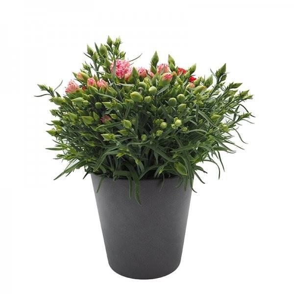 dianthus lillipot m16 1a + 10006473. Cravo: uma flor icônica