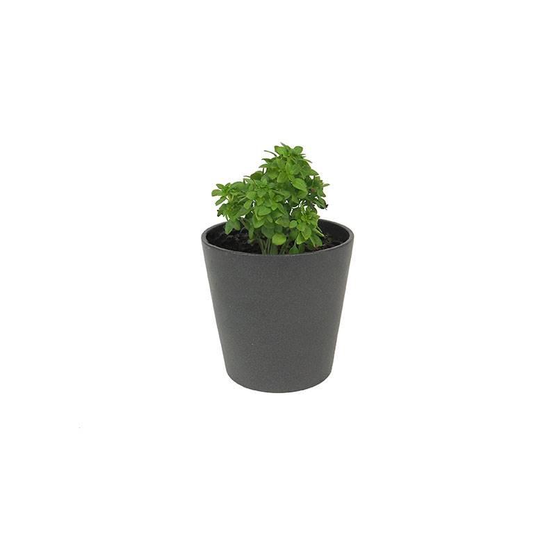 manjericão de folha pequena de ocimun basilicum. Manjericão: um molho saboroso