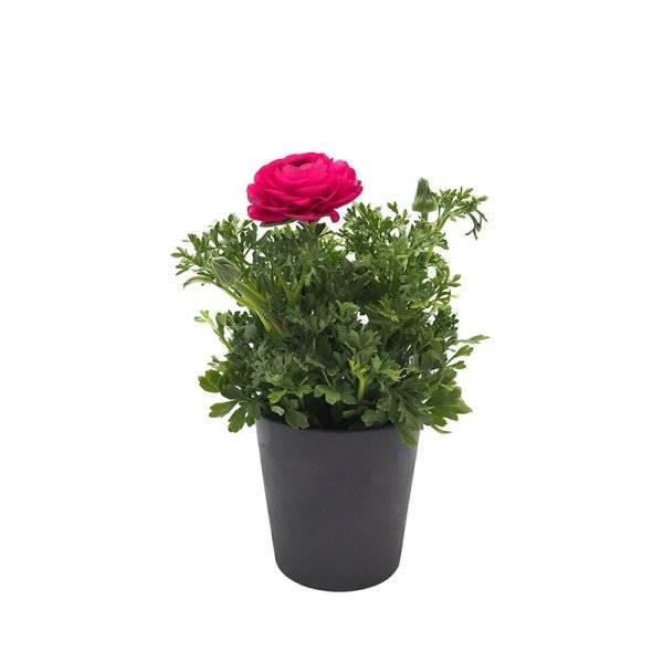 botão de ouro 1a + 10095604. Ranúnculo ou francês: belas flores multicoloridas