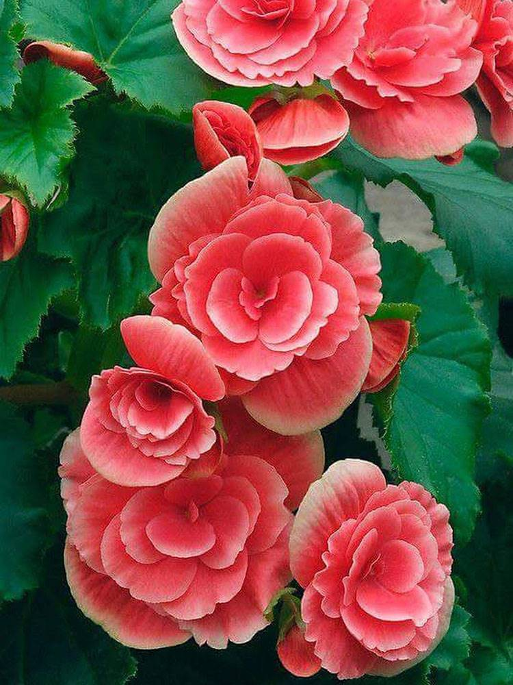 Begonia. Begonia, brillante color