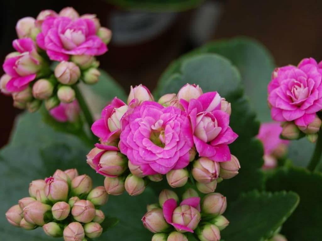 Kalanchoe calandiva: floração abundante e compacta
