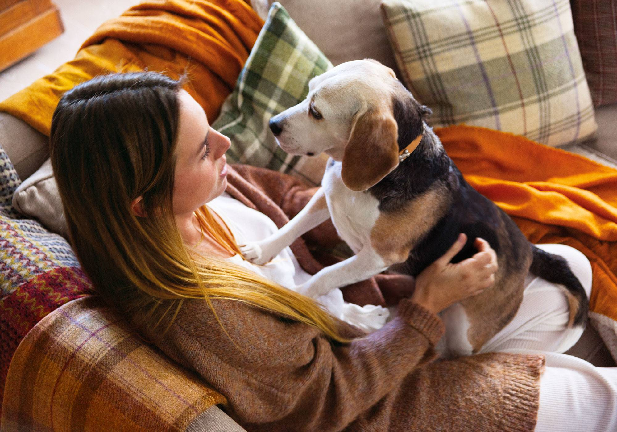00446882. Beagle: activo y amigable